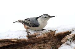 Vit-gången mot Nuthatch (sittacarolinensis) i snö Royaltyfri Bild