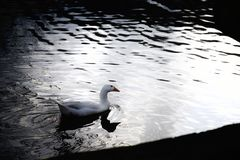 Vit gås på mörkt vatten på skymning royaltyfri fotografi