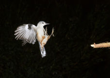 Vit-gått mot flyg för nuthatch (Sittacarolinensis) Arkivfoto