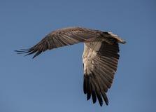Vit gått mot hav Eagle Fotografering för Bildbyråer