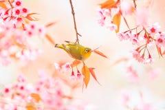 Vit-öga fågel och körsbärsröd blomning eller sakura Arkivfoton
