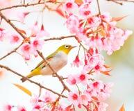 Vit-öga fågel och körsbärsröd blomning eller sakura Royaltyfri Foto
