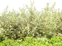 Vit gardenia Royaltyfri Bild