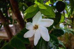 Vit gardenia med droppvatten royaltyfri fotografi