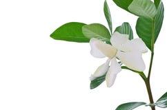 Vit gardeniablomma eller uddejasmin (gardeniajasminoides) Royaltyfri Foto