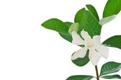 Vit gardeniablomma eller uddejasmin (gardeniajasminoides) Arkivfoton
