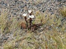 Vit Gentianella i den Tongariro nationalparken royaltyfria foton