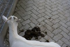 Vit get med avföring på golv i djur lantgård royaltyfri bild