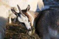 Vit get som äter hö från bunten Royaltyfri Fotografi