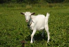Vit get som betar på grönt gräs Royaltyfri Bild