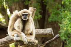 Vit gibbon Royaltyfri Fotografi