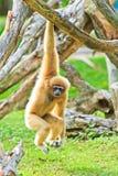 Vit gibbon Arkivbild