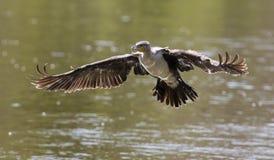 Vit gick mot kormoran tar av från fördämningen till jaktfisken Fotografering för Bildbyråer