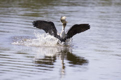 Vit gick mot kormoran tar av från fördämningen till jaktfisken Arkivfoton