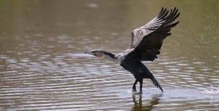 Vit gick mot kormoran tar av från fördämningen till jaktfisken Royaltyfria Bilder
