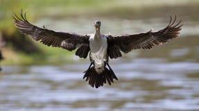 Vit gick mot kormoran tar av från fördämningen till jaktfisken Royaltyfri Foto