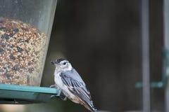 Vit gick mot nuthatchen på en trädgårdfågelförlagematare Arkivbilder
