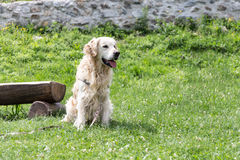 Vit golden retriever Arkivfoton