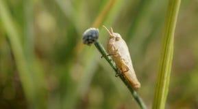 Vit gräshoppa ut på en lem Fotografering för Bildbyråer
