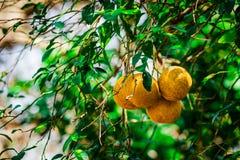 Vit grapefrukt i ett träd arkivfoto