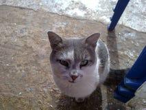 Vit & Grey Cat Arkivfoton