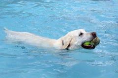 Vit guld- labrador retriever simning i simbassäng royaltyfria bilder
