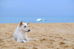 Vit gullig hund som ligger på stranden Arkivfoton