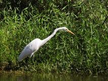 Vit häger i mangroven royaltyfria foton