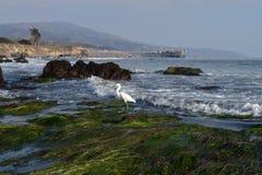 Vit häger på stranden Arkivbilder