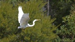 Vit häger - Queensland Australien Arkivfoto