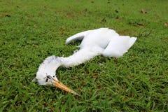 Vit häger som är död på gräsmattan Royaltyfri Foto