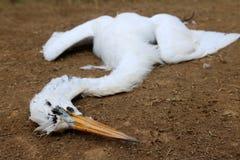 Vit häger som är död på gräsmattan Royaltyfria Bilder
