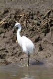Vit hägerfågel i Kenya Afrika Arkivbild