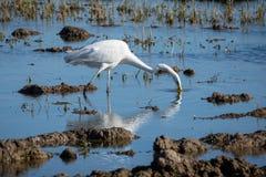 Vit hägerjakt på lagun och risfältet Parkerar den stora ägretthägret för den vuxna vita hägret på jakten i naturligt av Albufera, arkivfoto