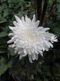 Vit härlig blomma Fotografering för Bildbyråer