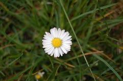 Vit härlig blomma för tusensköna på bakgrunden arkivfoto
