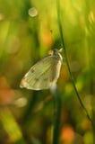 Vit härlig fjäril på ett grässtrå Royaltyfria Bilder