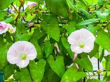 Vit härlig konvolvulusarvensis, vindablomma på en bakgrund för grönt gräs arkivbild