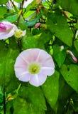 Vit härlig konvolvulusarvensis, vindablomma på en bakgrund för grönt gräs fotografering för bildbyråer