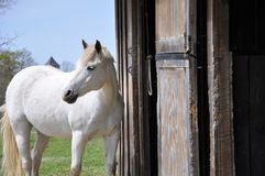 Vit häst Öppna ladugården fotografering för bildbyråer