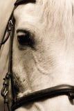 Vit häst Arkivbilder