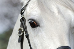 Vit häst Arkivbild