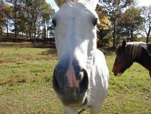 Vit häst Arkivfoton