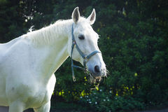Vit häst Fotografering för Bildbyråer
