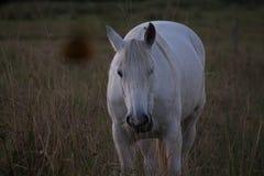 Vit häst Arkivfoto