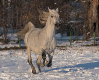 Vit häst Royaltyfria Foton