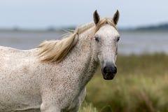Vit häst Royaltyfri Bild