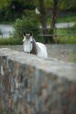 Vit häst bak en vägg Arkivbilder