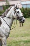 Vit häst för dressyr Arkivfoto