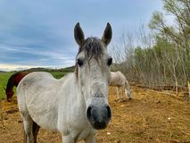 Vit häst från söder av Frankrike arkivfoton
